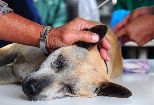 veteriner tarafından incelenen köpek