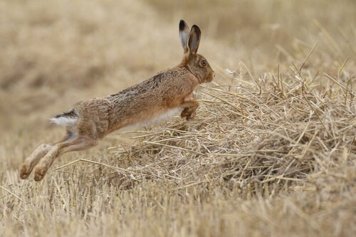 koşan yaban tavşanı