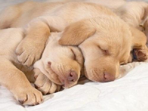 uyuyan yavru köpekler