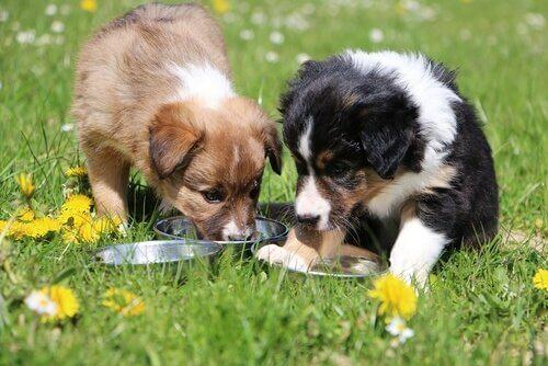 beslenen yavru köpekler