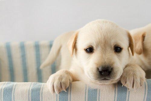 yavru köpek komut eğitimi