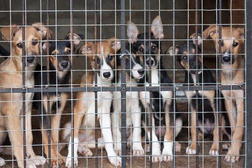 yetiştirici kafesindeki köpekler