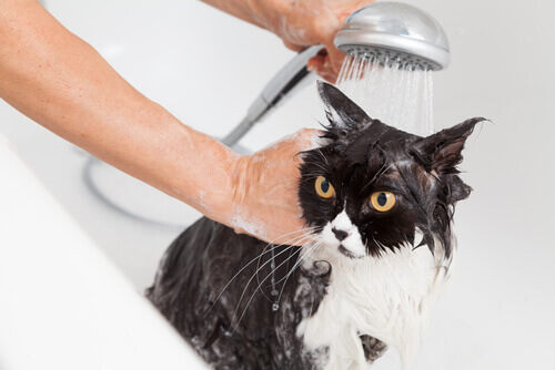 yıkanan huzursuz kedi