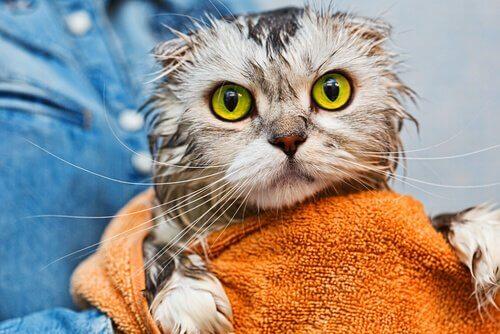 yeni yıkanmış kedi