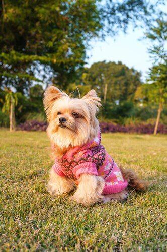 kazak giydirilmiş yorkshire terrier