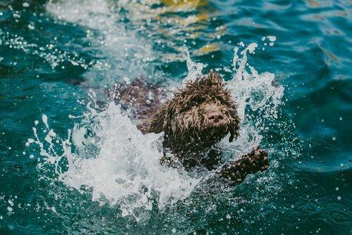 Denizde yüzen Portekiz su köpeği
