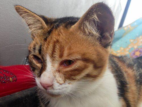 yüzü şişmiş kedi
