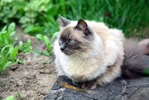 hipoalerjik kedi cinsleri