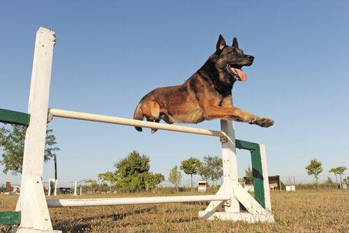Belçika çoban köpeği