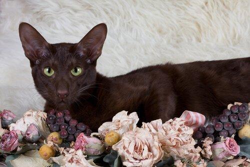 Havana Brown Kedisi bakımı