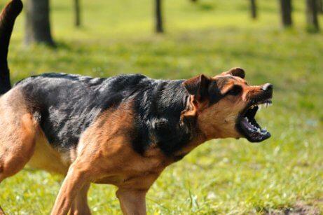saldırmak üzere dişlerini gösteren köpek