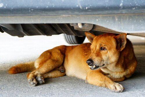 araba altında yatan köpek