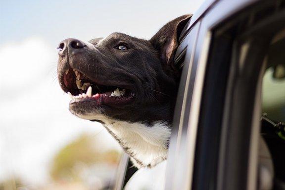 arabada mutlu köpek