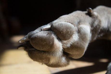 mastiflerde beşinci tırnak