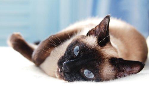 Asya Kedi Irkları