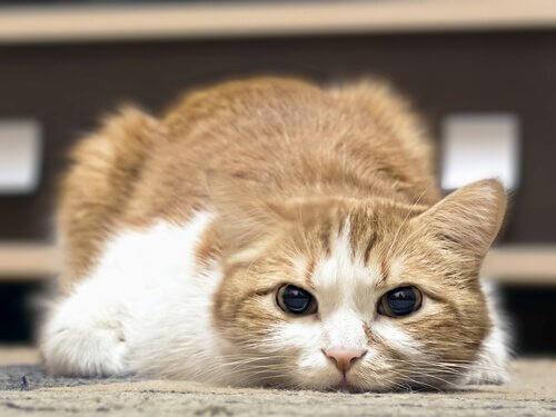 Kedinizin Ateşi Olduğunu Nasıl Anlarsınız?