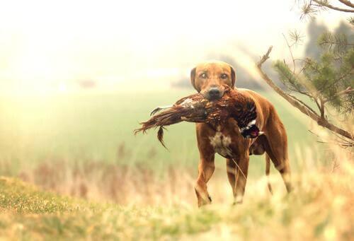 En İyi Av Köpeği Cinsi Hangisidir?
