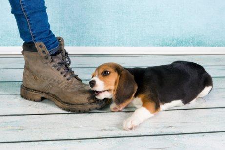 ayakkabıyı çiğneyen köpek