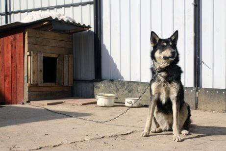 kulübesine bağlı köpek