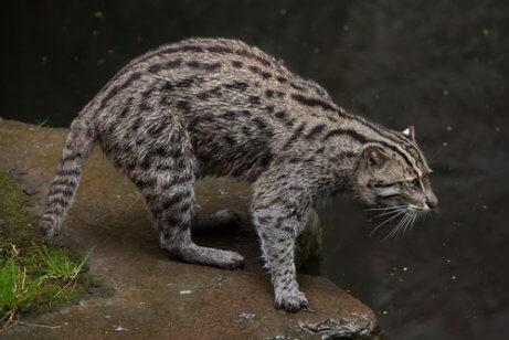 suya girmek üzere olan balıkçı kedi