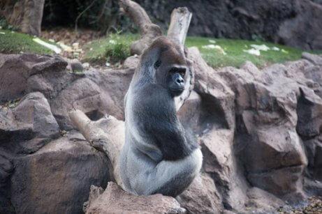 oturan goril