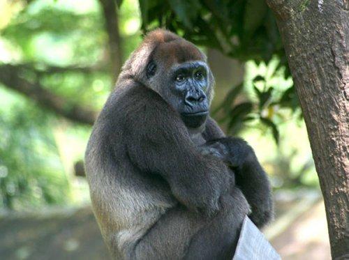 Dünyadaki En Büyük Primat: Batı Gorili