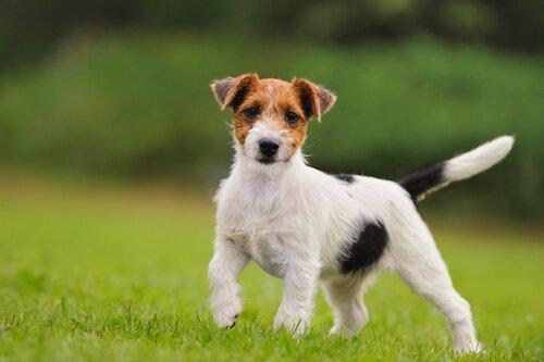 beagle ırkı