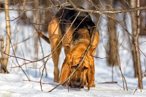 karda dallar arasında yürüyen köpek