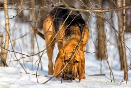 av köpeği