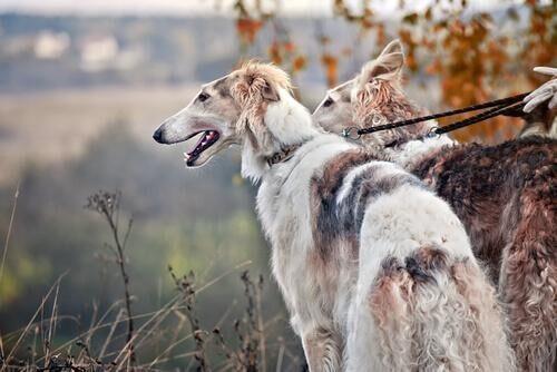 dünyadaki en hızlı köpekler Borzoy