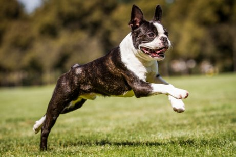 parkta koşan boston terrier