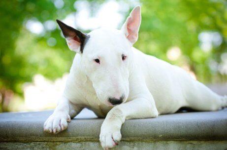 beyaz bull terrier