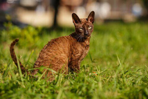cornish rex cinsi kedi