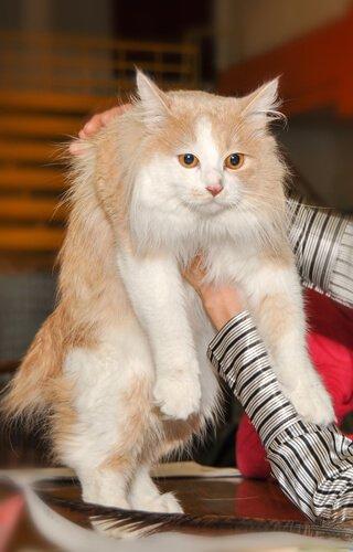 cymric kedisi bakımı