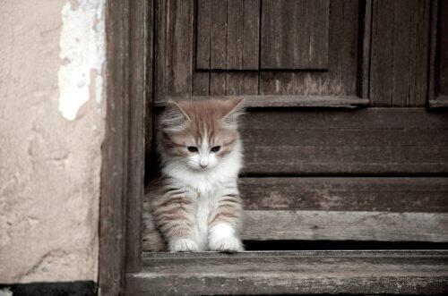 Cymric Kedisi: Uzun Tüylü ve Kuyruksuz Bir Tür