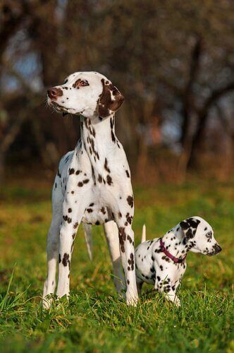 dalmaçyalı köpek ve yavrusu
