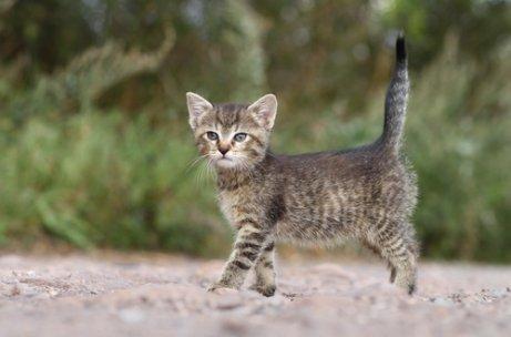 kuyruğu havada olan yavru kedi