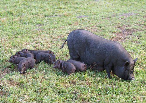 domuz ve yavruları