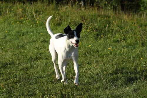 dünyadaki en hızlı köpekler