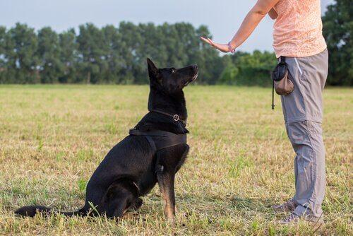 eğitim alan köpek