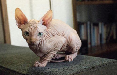 Egzotik Kedi Türleri Hakkında Bilmedikleriniz
