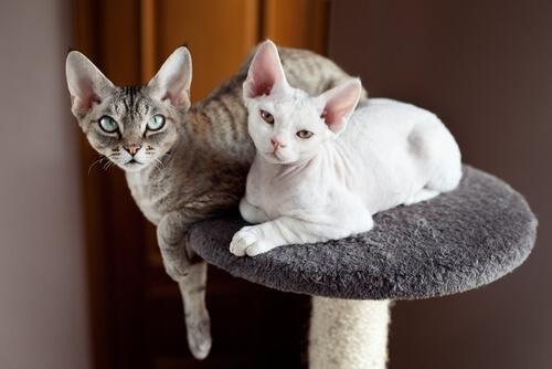 dünyadaki en küçük kediler
