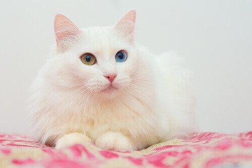 farklı renkte gözleri olan Ankara kedisi