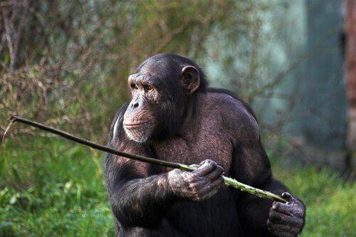 Mızrakla Avlanan Fongoli Şempanzeleri