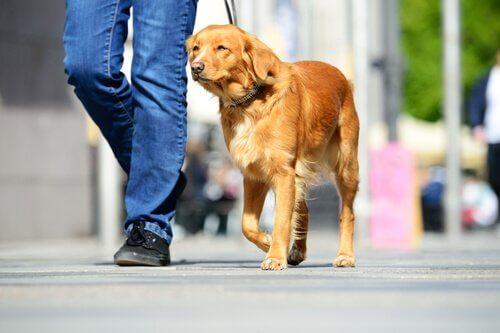 golden köpeğini gezdiren sahip