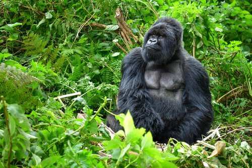 goril koko bitkiler içinde oturuyor