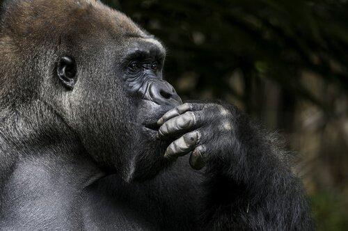 goril koko düşünürken
