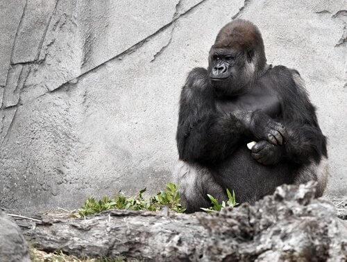 Konuşan Goril Koko Hayatını Kaybetti