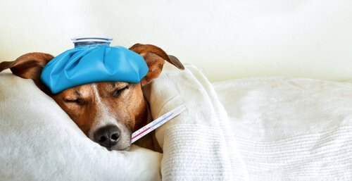 battaniye altında yatan hasta köpek