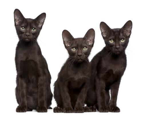 Havana Brown kedisi ve özellikleri